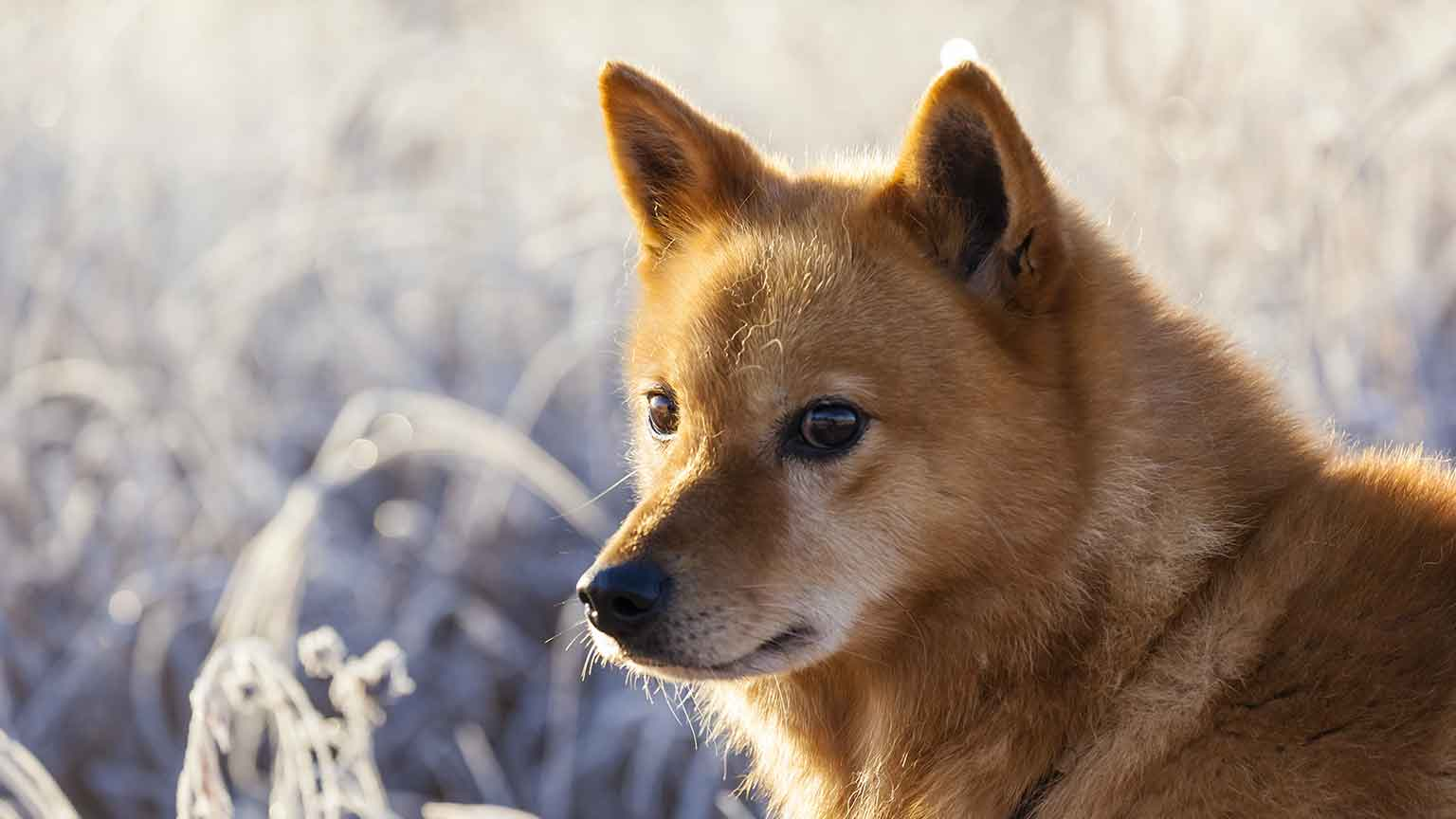 Finnish Spitz - Your Guide To An Ancient And Isolated Dog Breed