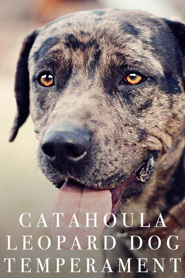 catahoula leopard dog temperament