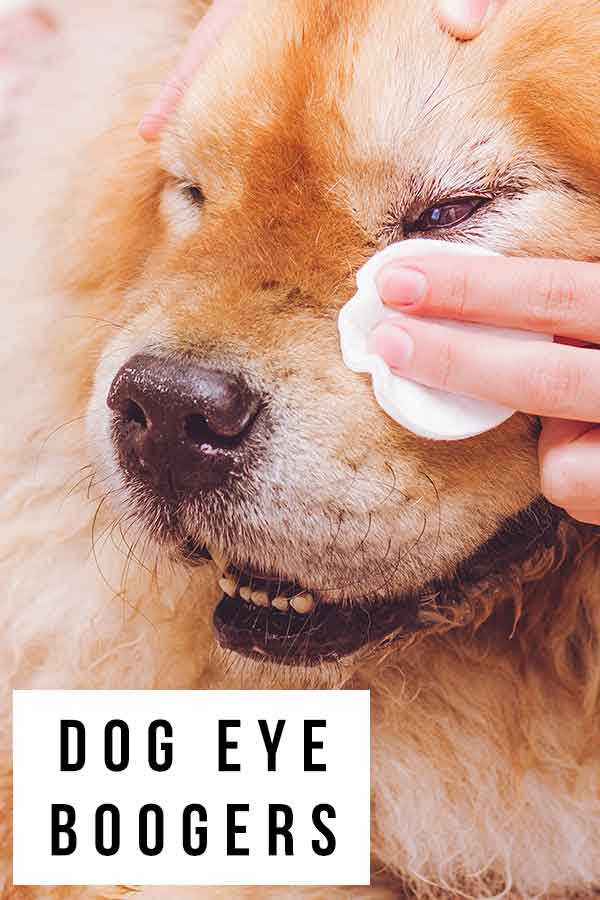 dog eye boogers