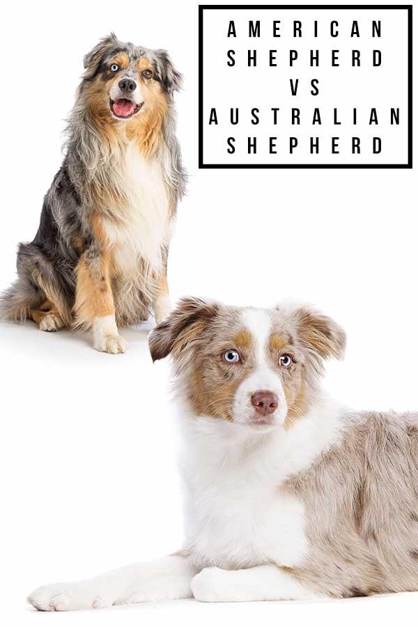 american shepherd vs australian shepherd