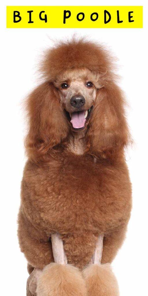 big poodle
