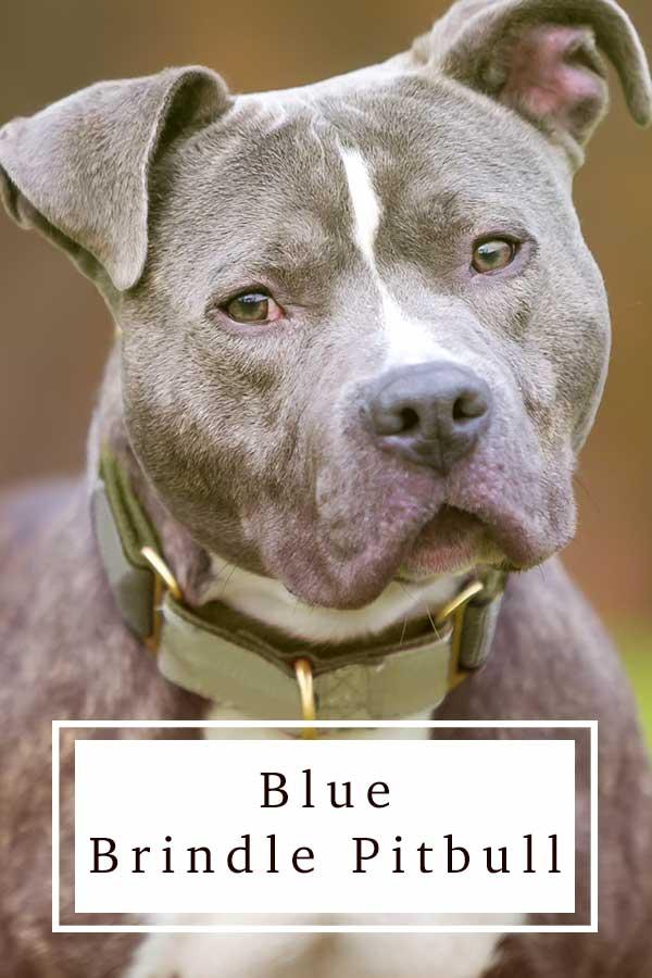 blue brindle pitbull