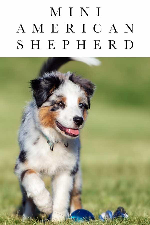 mini american shepherd