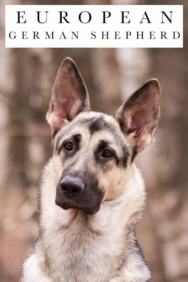 european german shepherd
