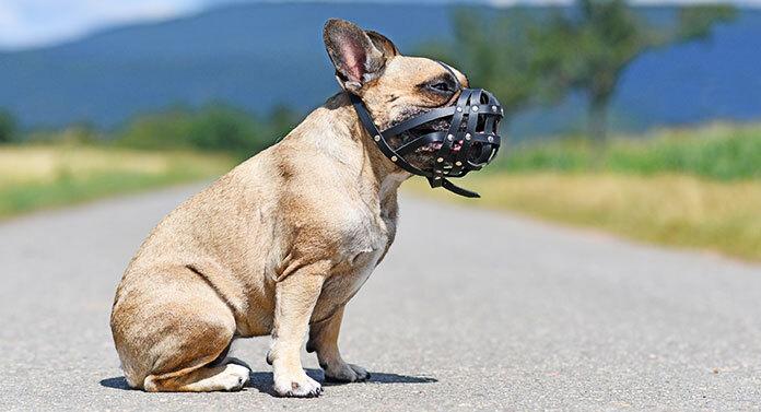 are french bulldogs aggressive