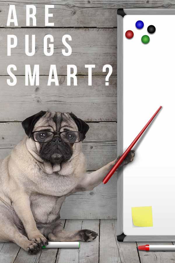 are pugs smart