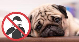 are pugs hypoallergenic