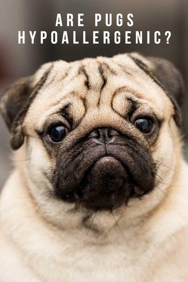 are pug hypoallergenic