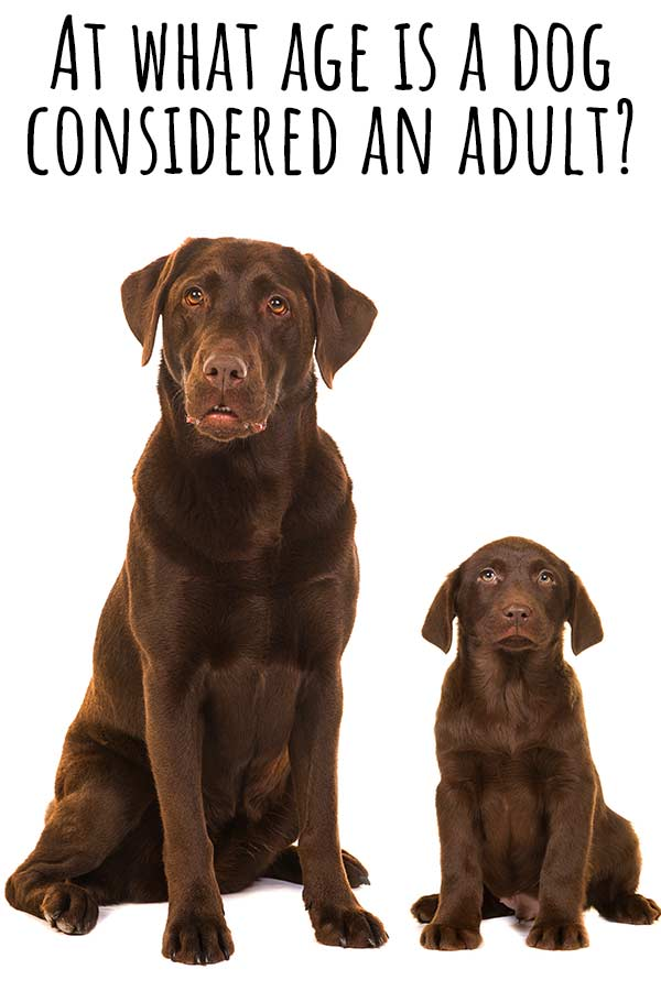 at what age is a dog considere an adult