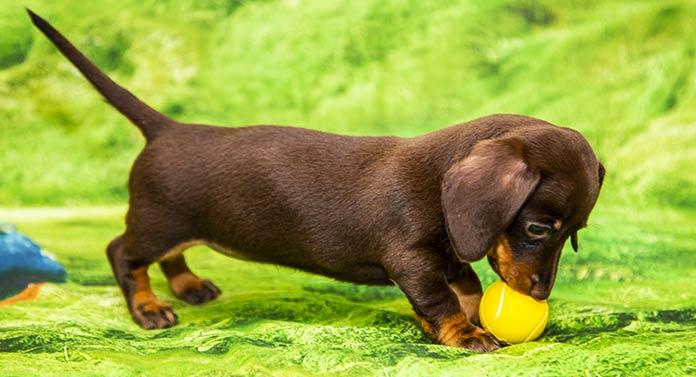 chocolate dachshund
