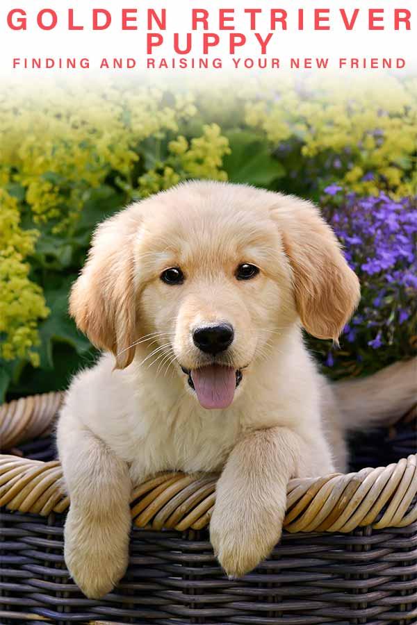 raising a golden retriever puppy