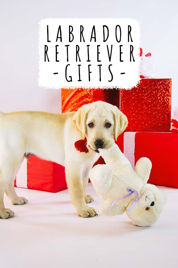 Yellow Labrador retriever with a teddy, in front of gifts