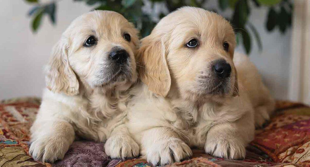 two golden retriever pups