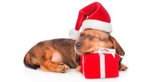 A dachshund puppy sleeping on a gift