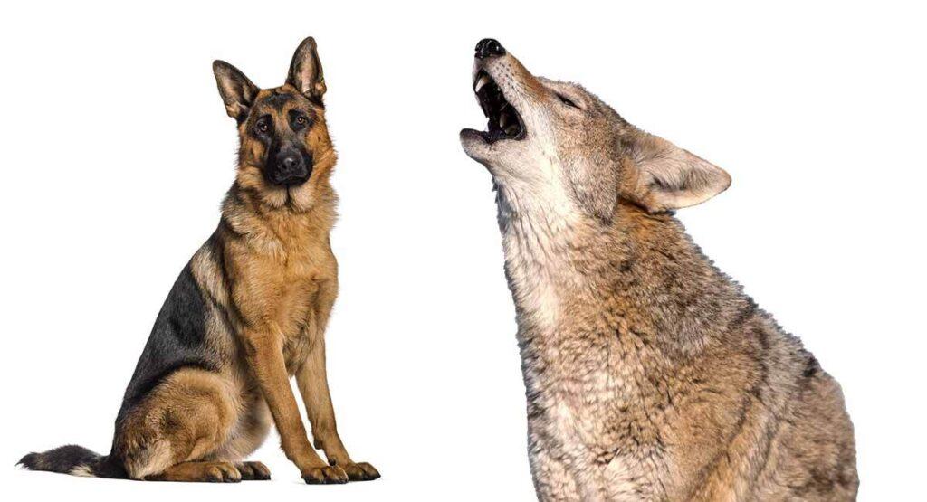 coyote mix