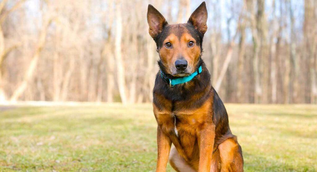 german shepherd terrier mix