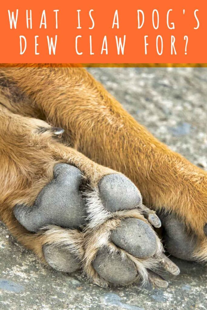 what is a dogs dew claw for