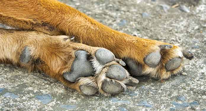 what is a dog's dew claw for