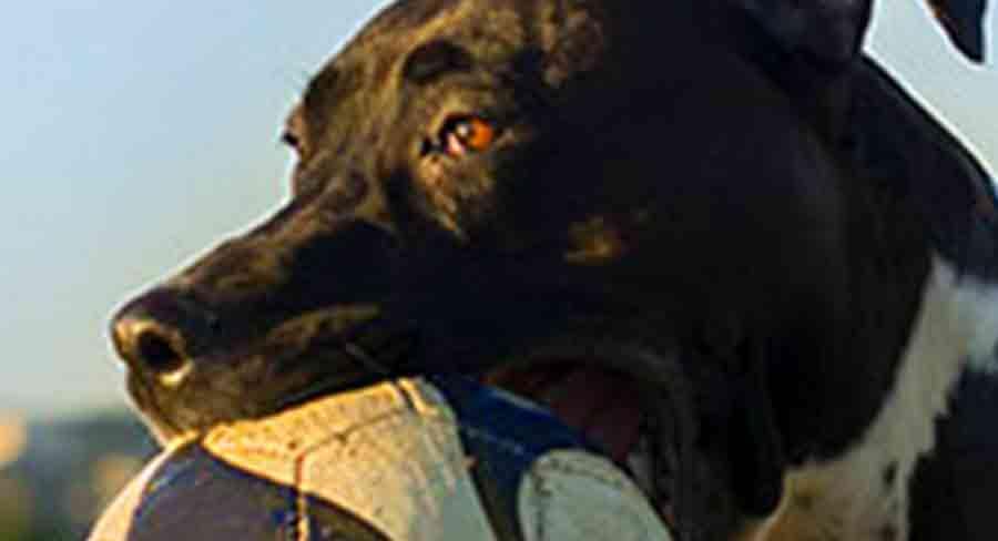 bull arab