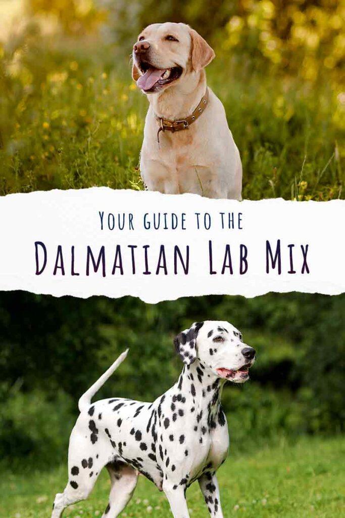 dalmatian lab mix