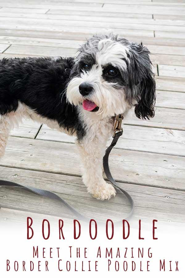 border collie poodle mix