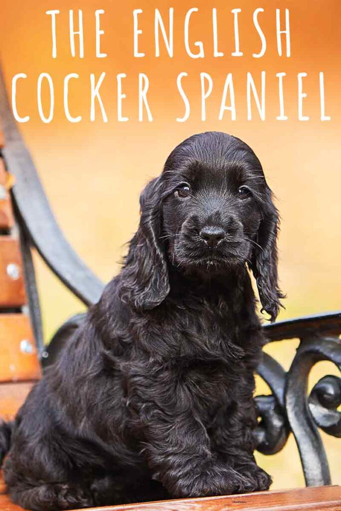 The English Cocker Spaniel