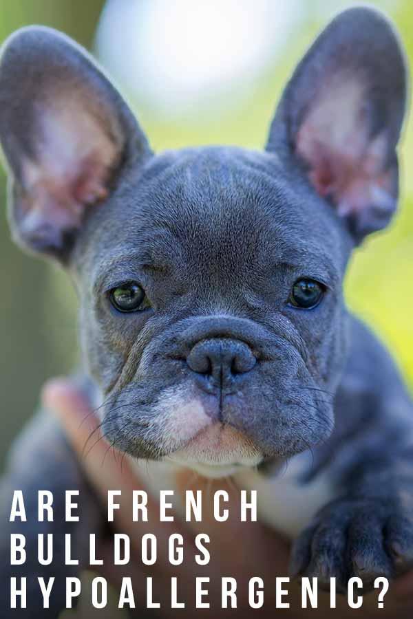 are french bulldogs hypoallergenic