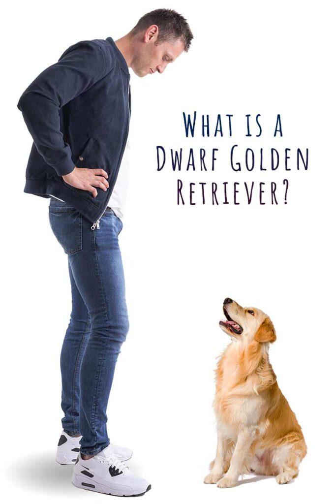 dwarf golden retriever