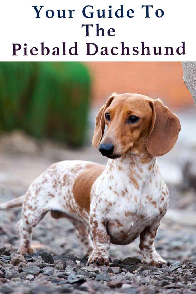 piebald dachshund