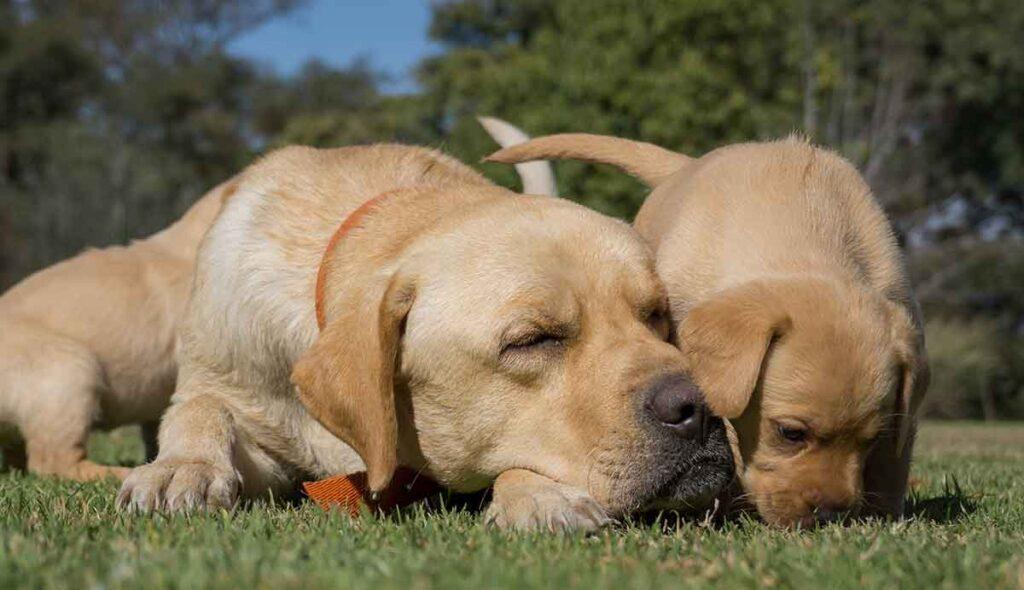 labrador and male puppy