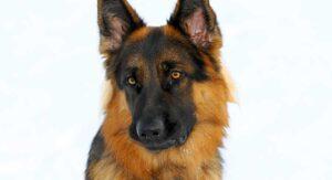 1 year old german shepherd