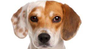 1 year old beagle