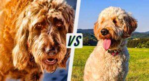 irish doodle vs goldendoodle